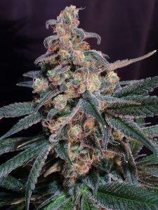 God's Super Skunk x Chernobyl – 12 regular seeds per pack